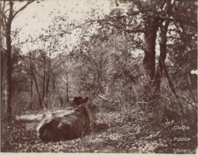 A cow lies facing away from the camera in a dense thicket of trees.